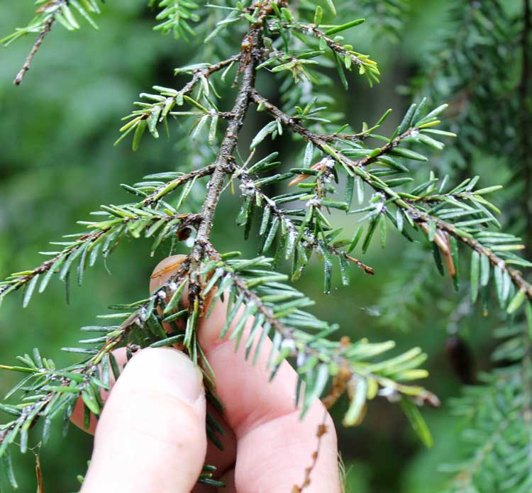 Examining Hemlock branch for Hemlock Woolly Adelgid